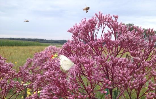Feld-Schmetterling